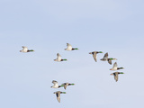 Male and Female Mallard Ducks (Anas Platyrhynchos)  Montana  USA