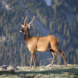 Young Rocky Mountain Elk Bull (Cervus Elaphus) Grazing in the Early Morning  Colorado  USA