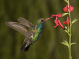 Broad-Billed Hummingbird Male (Cynanthus Latirostris) Feeding at a Sage Flower (Salvia Greggii)