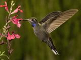 Blue-Throated Hummingbird Male (Lampornis Clemenciae) Feeding at an Autumn Sage Flower