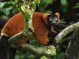 Red Ruffed Lemur (Varecia Variegata Ruber)  Masoala  Madagascar