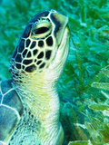 Green Sea Turtle Feeding in Seagrass Beds  Red Sea  Egypt