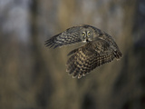 Great Gray Owl Flying at Dusk (Strix Nebulosa)  North America