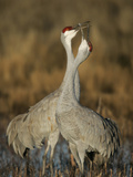 Sandhill Cranes Courtship Calling and Display