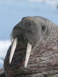 Walrus (Odobenus Rosmarus Rosmarus) on Pack Ice to Rest and Sunbathe Papier Photo par Louise Murray