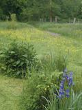 Wildflower Meadow with Iris's  Buttercups