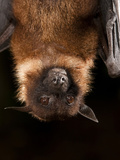 Head of a Giant Fruit Bat or Large Flying Fox (Pteropus Vampyrus) Hanging from a Branch