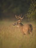 White-Tailed Deer (Odocoileus Virginianus) Grazing  Texas  USA