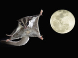 Sugar Glider  Petaurus Breviceps  Marsupial Mammal Gliding Through the Night Sky  Australia