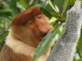 Proboscis Monkey Male Eating Leaves (Nasalis Larvatus)  Sabah  Borneo  Malaysia
