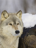 Gray Wolf (Canis Lupus)  Northern Minnesota  USA