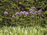 Purple Sensation Onion (Allium Hollandicum)