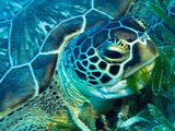 Green Turtle Feeding in Sea Grass Beds  Red Sea  Egypt