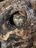 Little Owl in a Hole in a Hollow Tree (Athene Noctua)  Europe