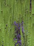Waterside Foliage  Iris and Ferns  Minterne Gardens  Dorset  England