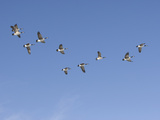 Flock of Canada Geese (Branta Canadensis)  Montana  USA