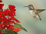 Calliope Hummingbird (Stellula Calliope) Male Flying at Texas Betony (Stachys Coccinea)