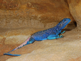 Anderson's Rock Agama Male (Acanthocercus Adramitanus)  a Common Lizard in the Mountains of Yemen