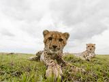 Cheetah Cub with its Mother (Acinonyx Jubatus)  Masai Mara  Kenya
