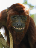 Red Howler Monkey Face (Alouatta Seniculus)  Iquitos  Peru