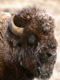 Bull Bison Head in Winter (Bison Bison), North America Papier Photo par Tom Walker