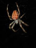 A European Garden Spider (Araneus Diadematus) on its Web at Night