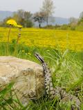 Asp Viper (Vipera Aspis) Near a Dandelion Field  Italy