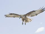 Galapagos Hawk (Buteo Galapagoensis) in Flight  Urbina  Isabella  Galapagos