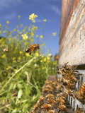 Honey Bee Forager Returns to the Beehive from Colzfield with a Load of Nectar