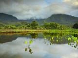 Taro Growing in a Pond  Hanalei  Kaauai  Hawaii  USA