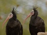 Bald Ibis or Waldrapp (Geronticus Eremita) an Endangered Species  Captive