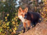 Red Fox (Vulpes Vulpes)  Alaska  USA