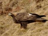 Golden Eagle (Aquila Chrysaetos)  Pyrenees  France