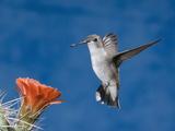 Black-Chinned Hummingbird Female (Archilochus Alexandri) Hovering at Claret Cup Cactus Flower