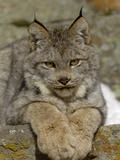 Canadian Lynx (Lynx Canadensis) Sitting on a Rock  USA