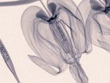 X-Ray of Bleeding Heart Flowers