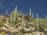 Sonoran Desert  Arizona  USA