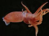 Bioluminescent Cock-Eye Squid (Histioteuthis Heteropsis)