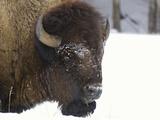 Bison Head (Bison Bison) in Snow  Yellowstone National Park  USA