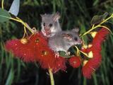 Little Pygmy Possum (Cercartetus Lepidus)  Tasmania  Australia