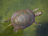 Painted Turtle Swimming in a Pond (Chrysemys Picta)  Astern North America