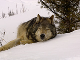 Gray Wolf (Canis Lupus) Sleeping in Snow