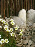 Close Up of Blackberry and Apple Pie Saxifrage Flowers in a Bamboo Fenced Japanese Gravel Garden