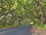 Road Through Arch of Forest Trees  Puna Coast  Big Island  Hawaii  USA