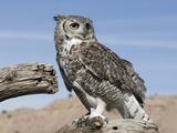 Great Horned Owl (Bubo Virginianus)  San Juan Mountains  New Mexico