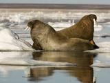 Walruses (Odobenus Rosmarus) Resting on Ice Floe Papier Photo par Louise Murray