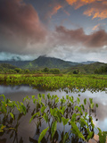 This Taro Field Near Hanalei  Kauai Is Planted and Then Flooded with Water