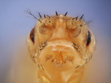 Stubble + Drop Mutant of the Fruit Fly (Drosophila Melanogaster) That Is Used as a Genetic Marker
