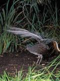Superb Lyrebird Singing and Displaying (Menura Novaehollandiae)  Healesville Sanctuary  Victoria