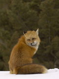 Red Fox (Vulpes Vulpes) Sitting on Snow  USA